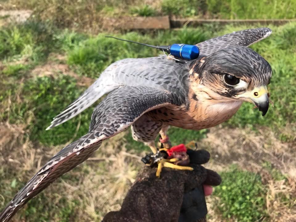 STOOPER peregrine Merlin falcon
