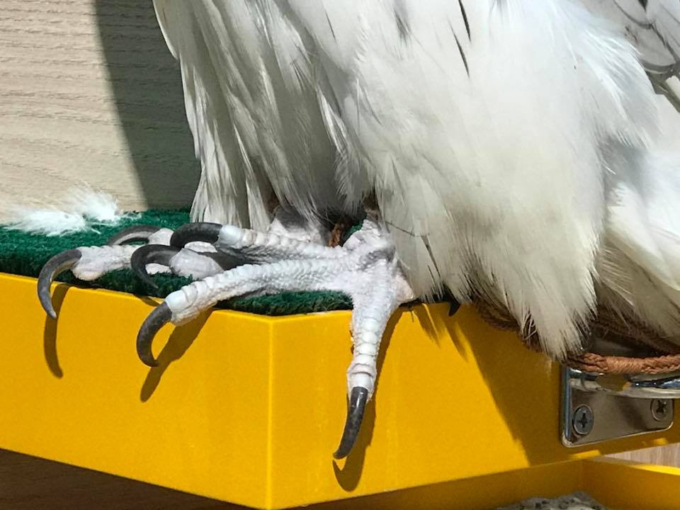 シロハヤブサの足 gyrfalcon